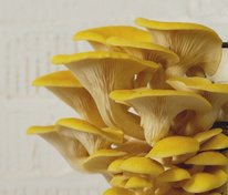 Citronmussling (Pleurotus citrinopileatus)