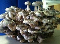 Shiitake(Lentinula edodes) maxiodling