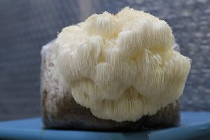 Igelkottstaggsvamp (Hericium erinaceus)